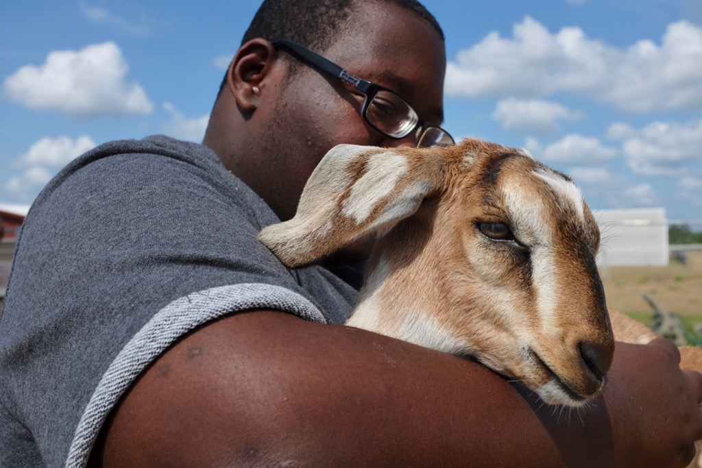 An Agriculture Academy student cares for a goat at Wesley Chapel High School.